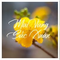 Mai Vàng Sắc Xuân - Various Artists